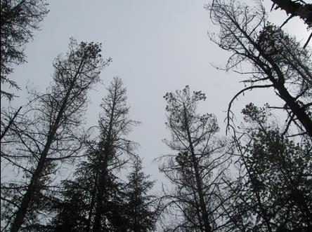 view of dead pine trees