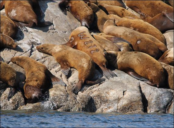 may sea lions on a rock, one is branded