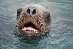 a sea lion sticks its face out of the water