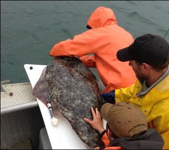 researchers work with a halibut on a boat