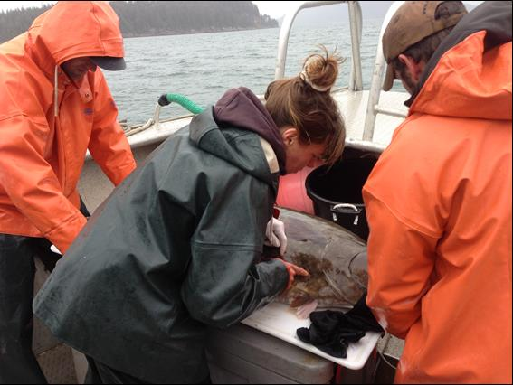 researchers work on a halibut