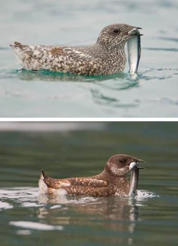 two images, one each of kittlitz's and marbled murrelets