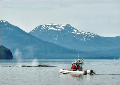 a boat and two humpback whales