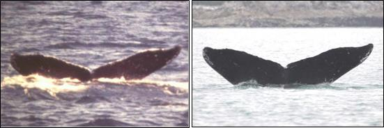 two images of the same humpback whale fluke