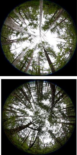 looking up at a forest, 2 pictures