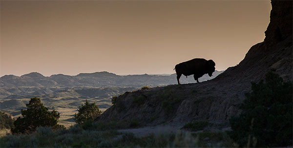 Bison on a cliff