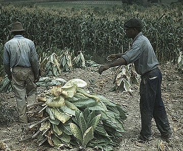 two African American men in a tobacco field