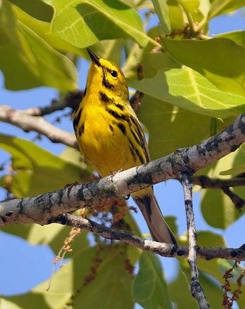 Yellow and black songbird, Prairie Warbler, perched on a tree limb