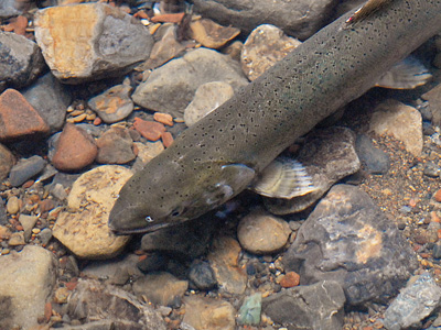 Female coho salmon spawner in Redwood Creek