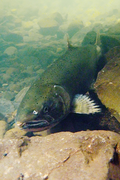 Underwater view of a returning female coho salmon resting against rocks on the creekbed