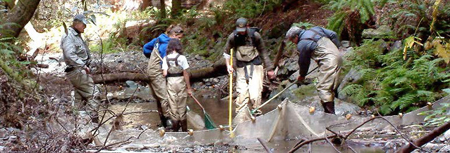 Group of staff and volunteers in the creek monitoring juvenile coho salmon