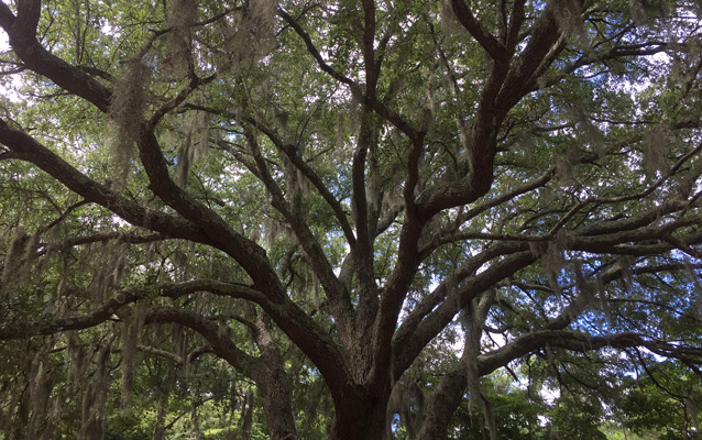 Live oak tree covered in Spanish moss