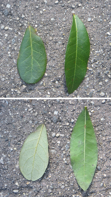Top and bottom images of live oak and laurel oak leaves, L to R