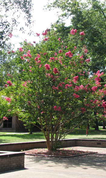 Crepe myrtle with pink blooms in courtyard