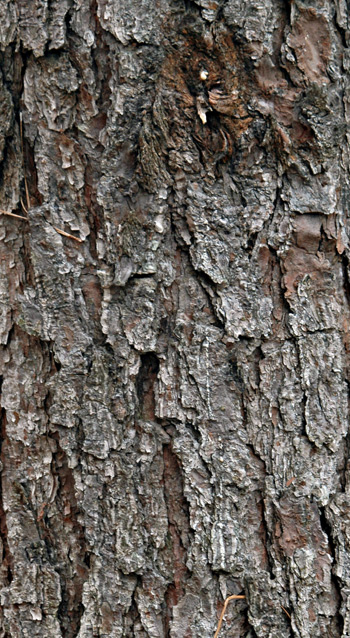 Close-up of loblolly pine bark, showing plated armor appearance