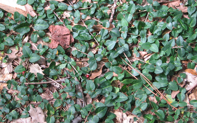 English ivy covering the ground