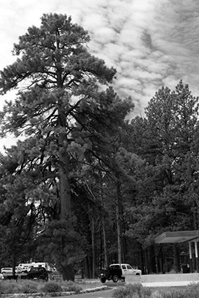 Large Ponderosa pine (Old NPS Housing Historic District: CLI, NPS, 2010)