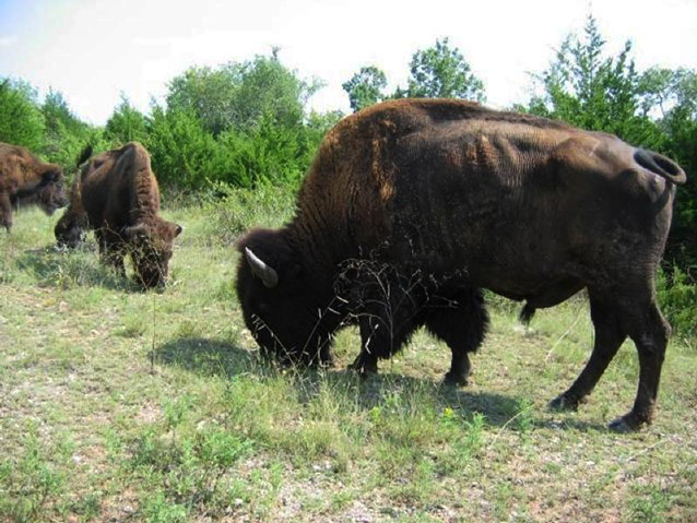 Several large, brown bison bow their heads to eat grass.
