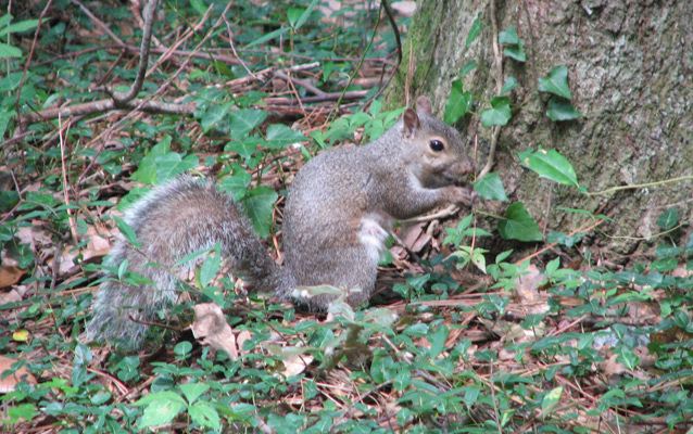 Eastern grey squirrel among the ivy
