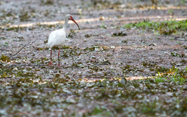White ibis exploring the grounds at Fort Raleigh