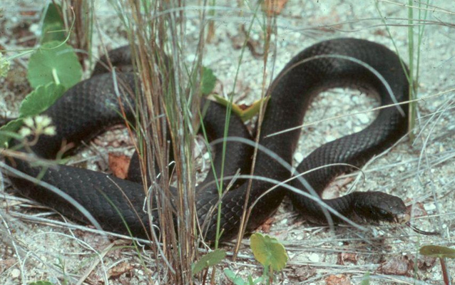 Black racer in the sandy grass