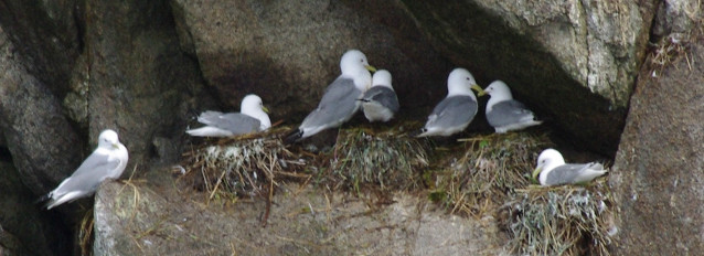 Black-legged kittiwakes at Chiswell Islands.