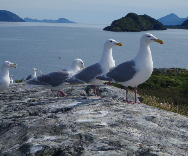 Glaucous-winged gulls on Squab Island in Aialik Bay.
