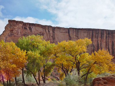 Trees changing from green to yellow below the steep cliffs of Canyon de Chelly