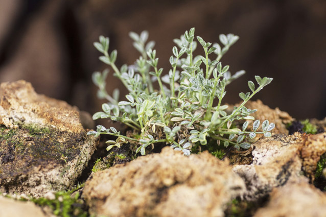 Sentry milk-vetch plant, decorated by tiny water droplets, growing among moss and rocks