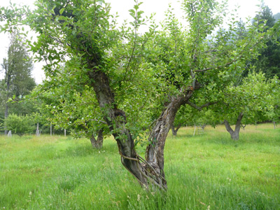 A green orchard contains a scattering of trees with short trunks and open branching.