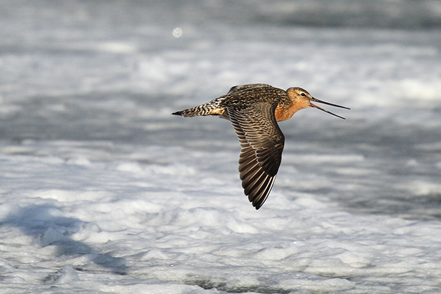 a brownish bird in flight