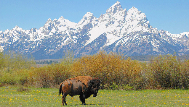 Bison in front of snowy mountain range