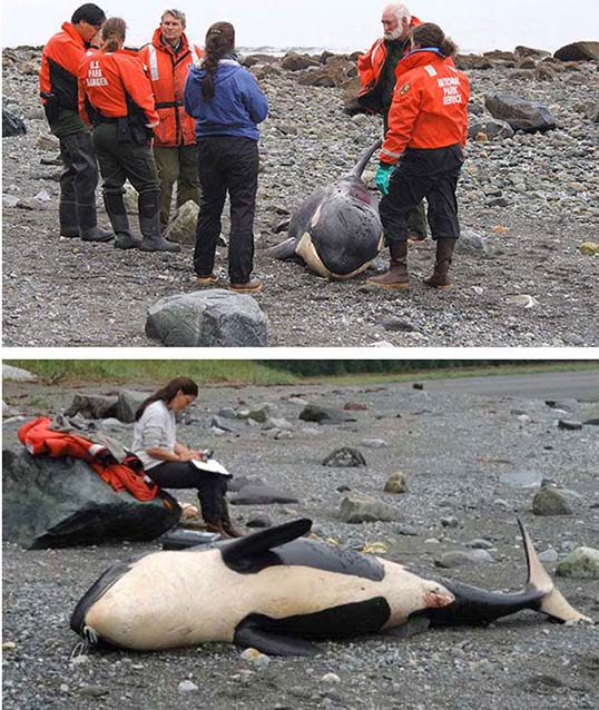composite images of people standing around a small, dead whale on a beach