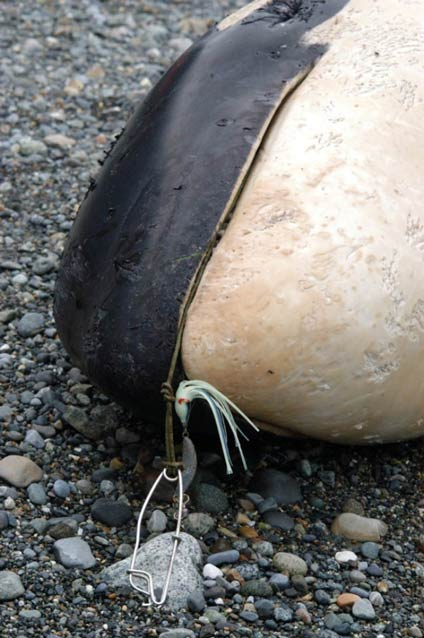 closeup of a dead whale face, with fishing tackle visible in its mouth