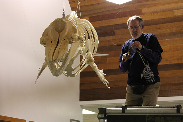 person standing next to a killer whale skeleton