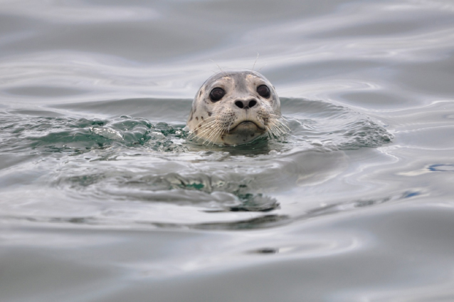 A seal sticking its head up out of the water