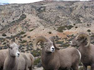 Bighorn sheep for which the canyon and river are named.