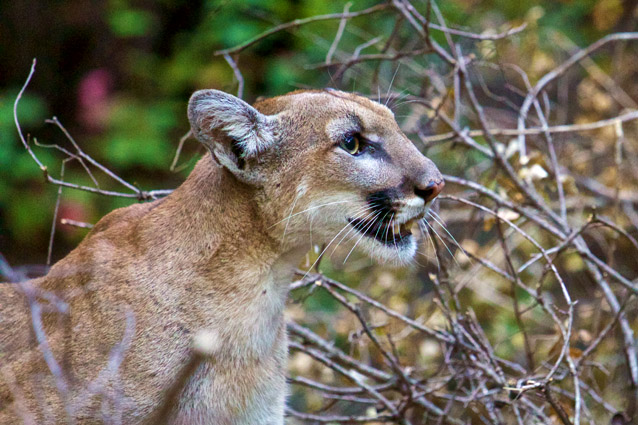 Profile view of a young female mountain lion