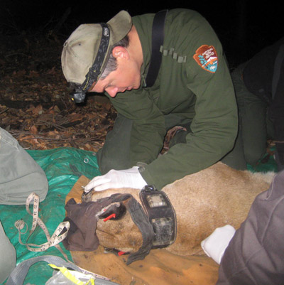 Uniformed National Park Service biologist leaning over an anesthetized mountain lion