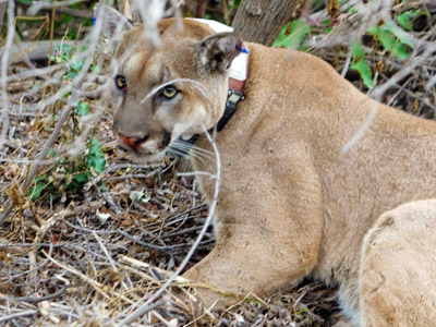 A collared male mountain lion crouching in the underbrush