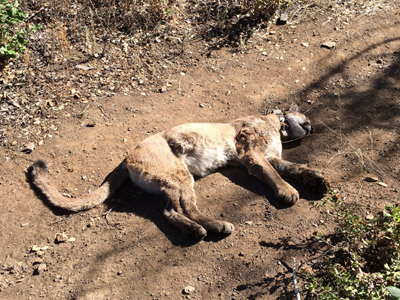 Carcass of a collared mountain lion on a trail