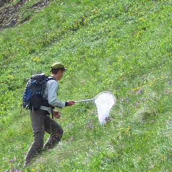 a researcher hikes up a hill with a bug net