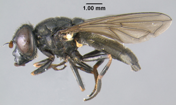 close up of a small black fly
