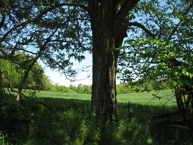 Strong tree trunk and low-hanging branches of an osage orange tree at the edge of a field