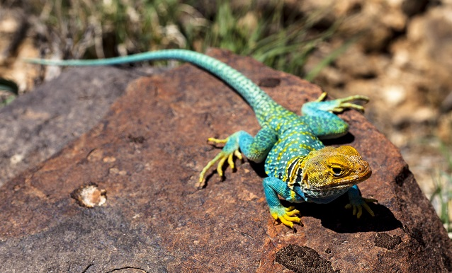 Collared lizard on a rock