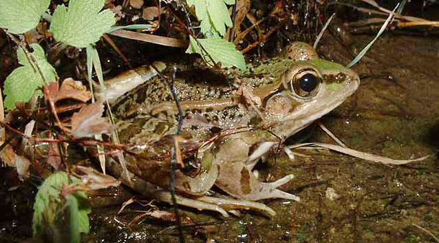 Leopard frog sitting at the edge of shallow water
