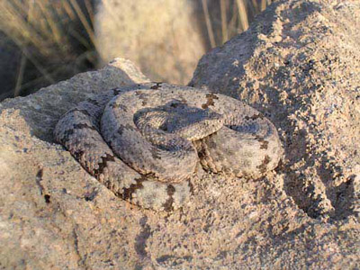 Mottled rock rattlesnake curled up on a matching rock