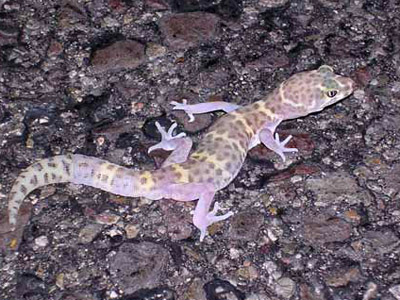 Nghttime flash photo of a Texas banded gecko on ashphalt
