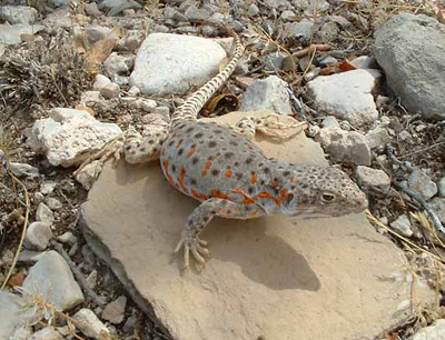 Long-nosed leopard lizard perched on a flat rock