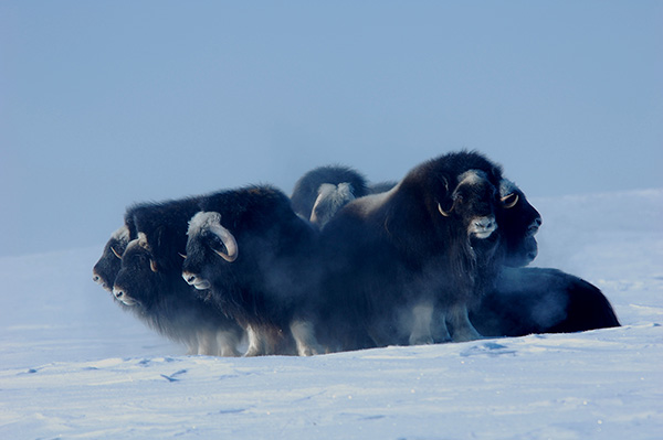 musk oxen standing in a circle
